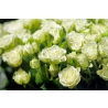 51 роза кустовая «Сноуфлейк»