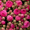 Пионовидные розы «Пинк Пиано» с оформлением