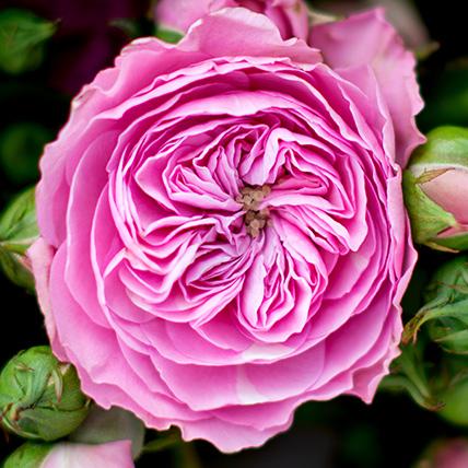 Кустовые пионовидные розы «Баронесса» в крафте
