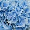5 голубых гортензий с оформлением