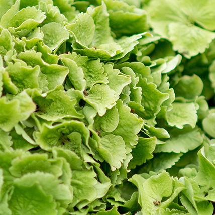 5 зеленых гортензий с оформлением