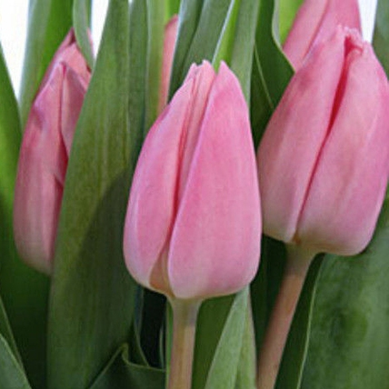 Тюльпан розовый «Pink twist»