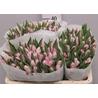 Тюльпан нежно-розовый  «Dinasty»