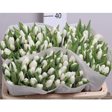 Тюльпан белый «Antarctica»