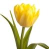 Тюльпан желтый «Strong gold»
