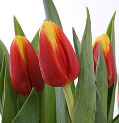 Тюльпан красный с каймой «Denmark»