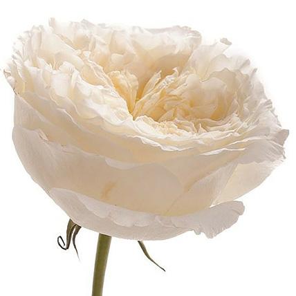 Букет из пионовидных роз Остина «Patiece»