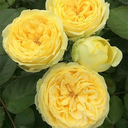 Букет из желтых пионовидных роз «Catalina»