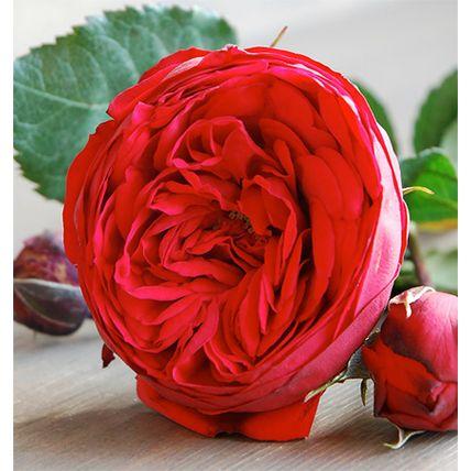 Букет из красных пионовидных роз «Red piano»