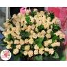 101 бежевая роза   «Талея»