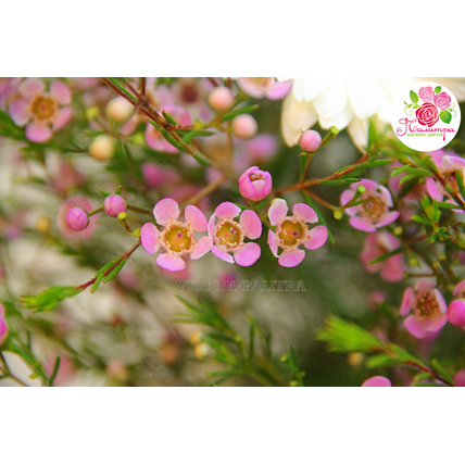 31 белая роза «Вайт Наоми» + ваксфлауэр