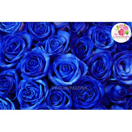 101 роза: синяя + розовая