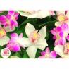 Букет из орхидей «Дендробиум» и «Цимбидиум»