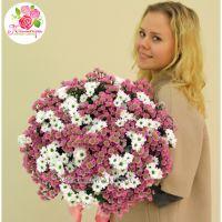 51 хризантема: белая + розовая
