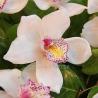Букет из орхидей «Цимбидиум»