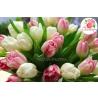 51 тюльпан розово - белый