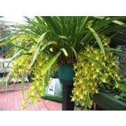 Орхидея «Цимбидиум» фото