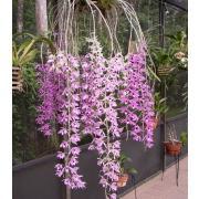 Орхидея «Дендробиум» фото