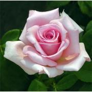 Роза нежно-розовая «Лав анлимитед» фото