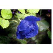 Роза синяя «Венделла блю» фото