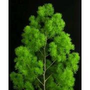 Зелень «Аспарагус» фото