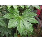 Зелень «Аралия» фото