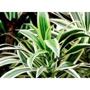 Зелень «Драцена» фото
