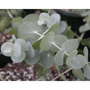 Зелень эвкалипт «Цинерия» фото