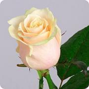 Роза кремовая (бежевая) «Талея» фото