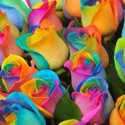 Радужная роза «Раинбоу» фото
