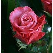 Роза розовая «Дип вотер» фото