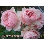 Роза пионовидная «Мария терезия» фото