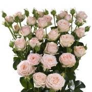 Роза пионовидная кустовая «Бомбастик» фото