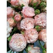 Роза пионовидная кустовая «Мадам Бомбастик» фото
