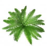 Зелень «Амбрелла» фото
