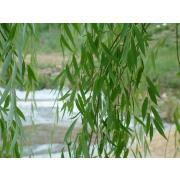Зелень эвкалипт «Николи» фото