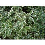 Зелень «Питтоспорум нигра» фото