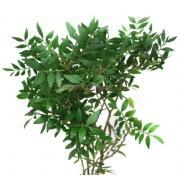 Зелень «Писташ» фото