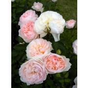 Роза Дэвида Остина пионовидная  фото