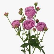 Роза пионовидная кустовая «Мисти бабблс» фото