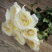 Роза Девида Остина пионовидная «Patience» фото