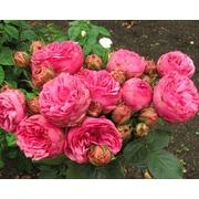 Роза пионовидная кустовая «Pink piano» фото