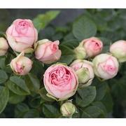 Роза пионовидная кустовая «Bridal piano» фото