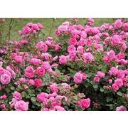 Роза пионовидная «Баронесса» фото