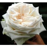 Роза пионовидная «White О'hara» фото