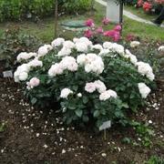 Роза пионовидная «Алабастер» фото