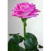 Роза розовая «Аква» фото