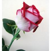 Роза красно-белая «Люксор» фото