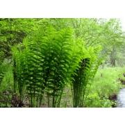 Зелень «Папоротник» фото