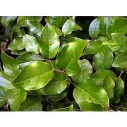 Зелень «Салал» фото